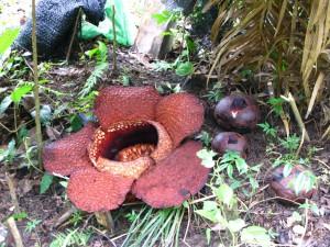 Rafflesia arnoldii - il fiore circondato da boccioli in maturazione - da wikimedia