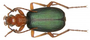 Brachinus crepitans (da Wikimedia commons)