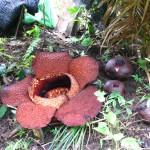 Rafflesia, un fiore poco romantico
