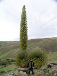 Puya raimondii