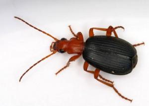 Peti di scarabeo