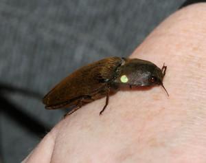 Cucujo (Pyrophorus noctilucus) da fireflyforest.net