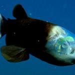Il pesce dalla testa trasparente